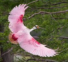 Roseate Spoonbill in Flight by Bonnie T.  Barry