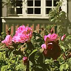 Pink Roses, Green House by AMGunn