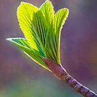 Spring at Last - Baby Siebold Viburnum Leaves by Anita Pollak