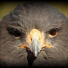 Harris's Hawk~ In Your Face by Kimberly P-Chadwick