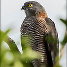 Brown Goshawk by Helenvandy