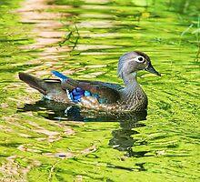 Female Wood Duck by Deborah  Benoit
