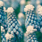 Muscari Field ©  by JUSTART