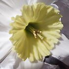Anatomy of a Daffodil © by GardenJoy