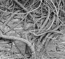 Ivy by Ian Mac