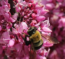Carpenter Bee on Red Bud Tree by Sheryl Hopkins