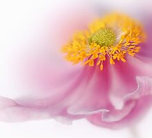 Soft pink by Lyn Evans