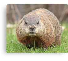 Spring has sprung, grass has riz - groundhog wondering where the girlies is Canvas Print