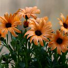 Pale orange flowers by Dipali S