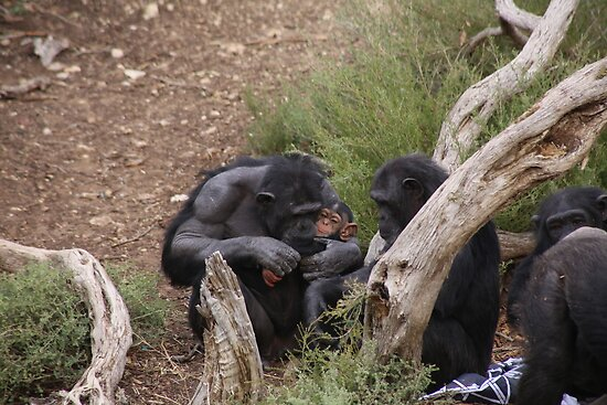 Baby Chimp & Mum by Stuart Daddow Photography