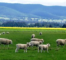 Grazing peacefully  - Balliang/Anakie, Vic. by EdsMum