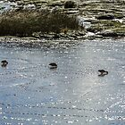 Ducks in Mud by fotosic