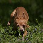 Chihuahua On the gallop by Tom Clark