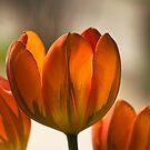 Tulpen I by Erwin G. Kotzab