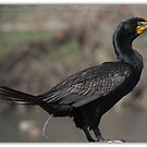 Doubled-crested Cormorant 3 of 6 by Betsy  Seeton