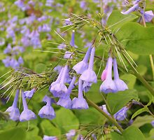 Wild Virginia Bluebells by James Brotherton
