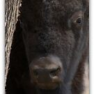 ROCKY MOUNTAIN BISON by Betsy  Seeton