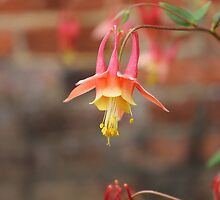 Eastern red columbine by Kelly Morris
