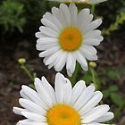 White Daisies by Paul Sturdivant