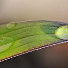 Drops on Asiatic Lily Leaf by George Crawford