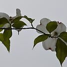 Dogwood by Mark Segall