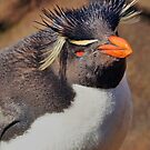 Rockhopper Penguin, Falkland Islands by Geoffrey Higges