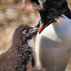 Rockhopper Penguin feeding Chick, Falkland Islands by Geoffrey Higges