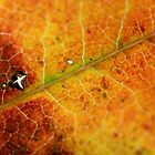 Autumn Maple Leaf by BeyondClarity