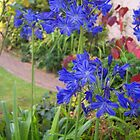 Agapanthus by Dionne Meade