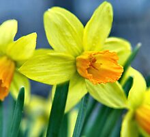 Yellow Jonquil by Sheri Nye