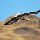 White Tailed Eagle by Richard Greenwood