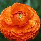 Orange Ranunculus by Dipali S