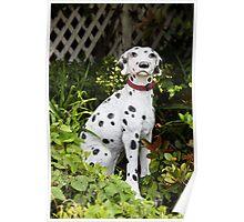 Garden Dalmatian Poster