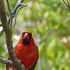Cardinal by Susan S. Kline