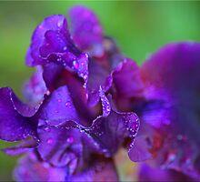 Purple Macro by Chet  King