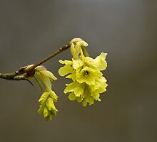 Fragrant Winter Hazel by Sue Robinson