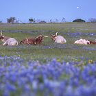 Bluebonnet pictures - Longhorns in bluebonnets in the early morning by RobGreebonPhoto