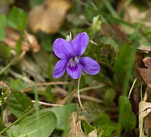 Wood Violet by Sue Robinson