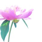 Peonie Pink by pictureit