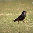 European Starling Strut by Kimberly P-Chadwick