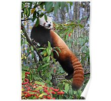 Red panda & red berries Poster