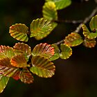 Nothofagus Gunnii by Garth Smith