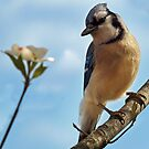 Blue Jay in a Dogwood Tree by Bine