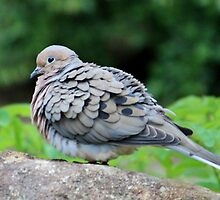 Turtle Dove by Cynthia48