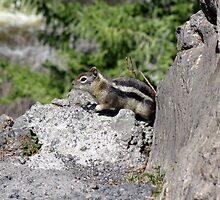 Chipmunk on the Rocks by Johnathan Warren