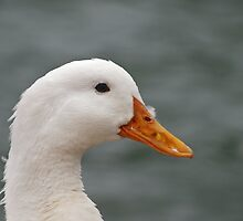 Duck Portrait by Richard G Witham