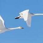 Swans in flight. by Skipnes