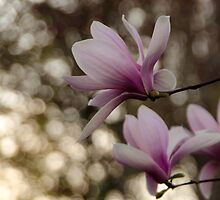 Magnolia at night  by LudaNayvelt