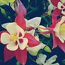 White pink aquilegia flowers by cycreation
