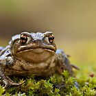 Bufo bufo by Csar Torres